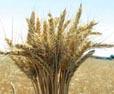 Buğday Hasat ve Harmanı